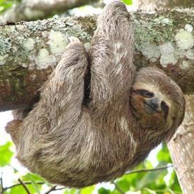 Sloth Daddy